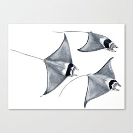 Devil fish Manta ray Mobula mobular Canvas Print