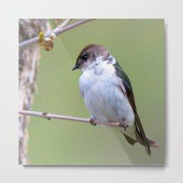 Watercolor Bird, Violet Green Swallow 02, Estes Park, Colorado Metal Print