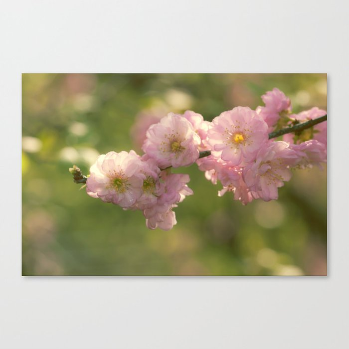 Almondblossoms in LOVE - Cherryblossom Flower Floral Canvas Print