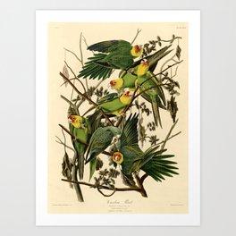 Carolina Parrot Art Print