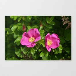 York Village Roses Canvas Print