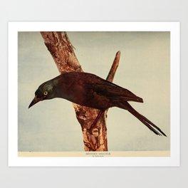 Neltje Blanchan - Bird Neighbours (1903) - Bronzed Grackle Art Print