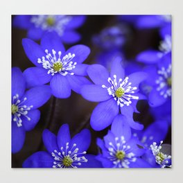First Spring Flowers in Forest Canvas Print