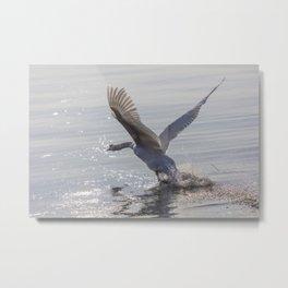 swan flying skimming the water on lake Metal Print