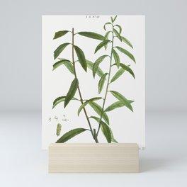 White willow Salix alba from Traite des Arbres et Arbustes que lon cultive en France en pleine terre Mini Art Print