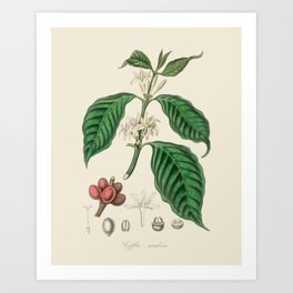 Coffee Bean Antique Botanical Illustration Art Print