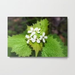 Garlic Mustard 1 Metal Print