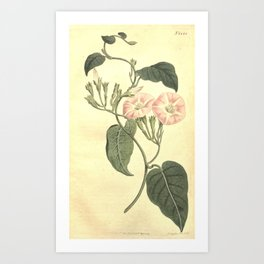 Flower 1228 convolvulus canariensis Canary Bindweed10 Art Print