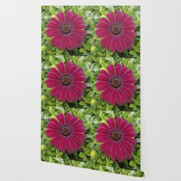 Deep red velvet African daisy -- Osteospermum flower Wallpaper