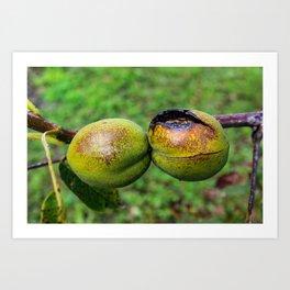 Walnuts in shells burned by the sun Art Print