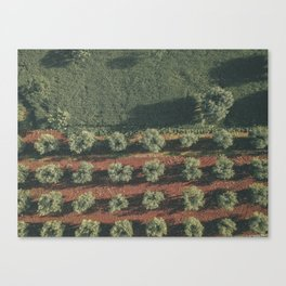 Aerial photo, nature textures, drone photography, olive trees, Apulia, Italian countryside Canvas Print