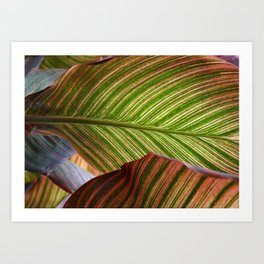 Striped Canna Lily Leaves Art Print