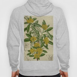 Daphne giraldii, Thymelaeaceae Hoody