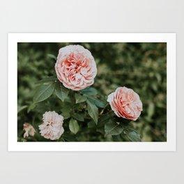 Salmon English Roses Art Print