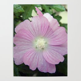 Pink Musk Mallow Poster