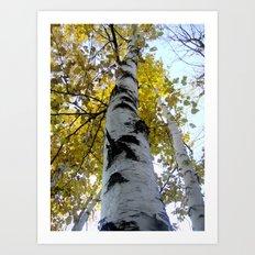 northern ontario birch part 1 Art Print