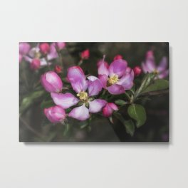 Pink Apple Blossoms Metal Print