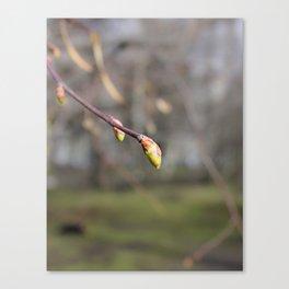 Swollen spring bud. Canvas Print