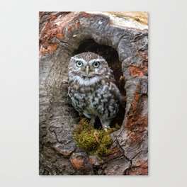 Owl in a tree hole Canvas Print