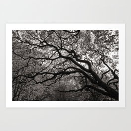 Magnolia Trees in Blossom 01 Art Print