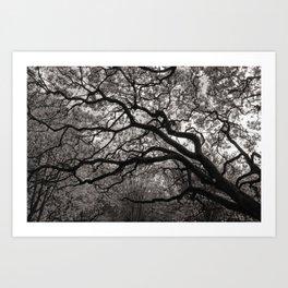 Magnolia Trees in Blossom 01 Art Print