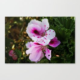 Morbillo Canvas Print