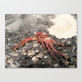 Looking Crabby Canvas Print