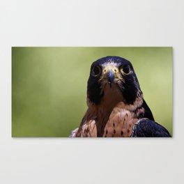 Peregrine Falcon | Wildife | Falcons | Bird of Prey | Photography Canvas Print