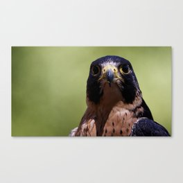 Peregrine Falcon | Wildife | Falcons | Bird of Prey | Photography Canvas Print