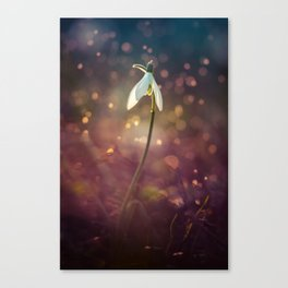 Snowdrops in the afternoon rain Canvas Print
