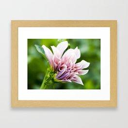 Cafe Au Lait Dahlia in Bloom Framed Art Print