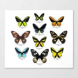 Butterfly012_Ornithoptera Set1 on White Background Canvas Print