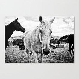 Desert Horse, I Canvas Print