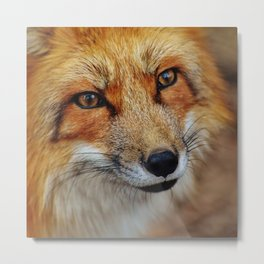 wild fox close up Metal Print