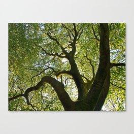 Beech Tree Canopy 2 Canvas Print