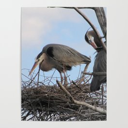 Great Blue Herons Nesting Poster