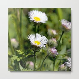 Watercolor Flower, Fleabane 01, RMNP, Colorado Metal Print