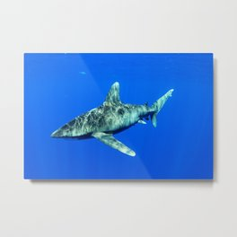 Oceanic Whitetip Shark Metal Print