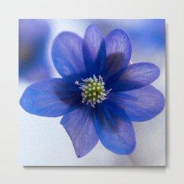Hepatica blue Metal Print