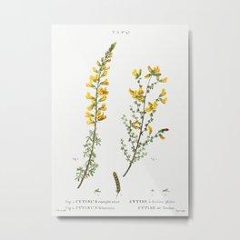 Cytisus complicatus and cytisus telonensis (1801–1819) from Traité des Arbres et Arbustes que l'on c Metal Print