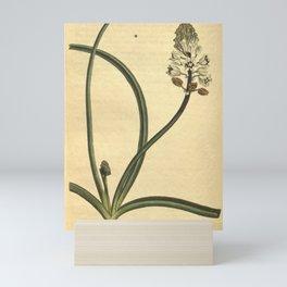 Flower 939 scilla romana Roman Squil10 Mini Art Print