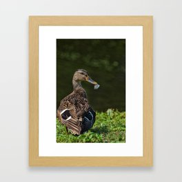 Feathered Mallard Framed Art Print