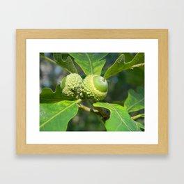 Green Acorns Framed Art Print