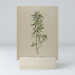 Vintage Botanical Print - Sandfly Zieria or Lanoline Bush, 1813 Mini Art Print