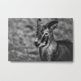 Mouflon Sheep. Black and White Photograph Metal Print