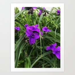 Spiderwort Art Print