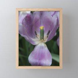 Old Purple Tulip Framed Mini Art Print