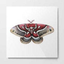 Moth - HYALOPHORA GLOVERI - Glover's silk moth | Painting | Watercolour | Insect Metal Print