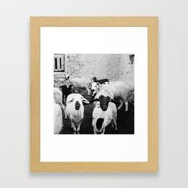 Sheep in Morrocan desert (black & white) Framed Art Print
