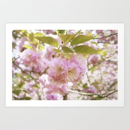 double cherry blossoms with soft hues of pink petals Art Print